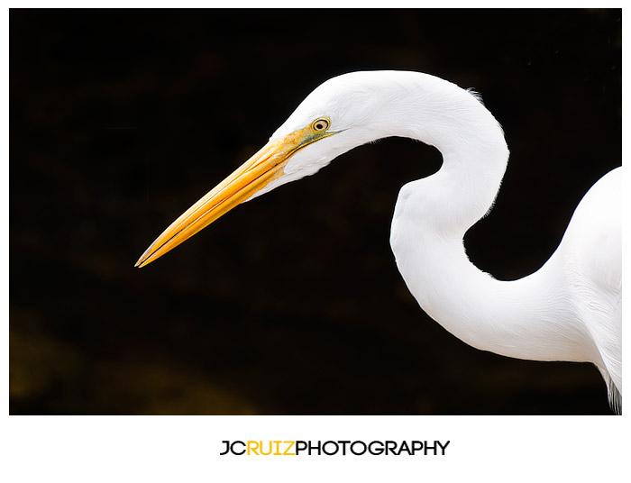 Great Egret Everglades