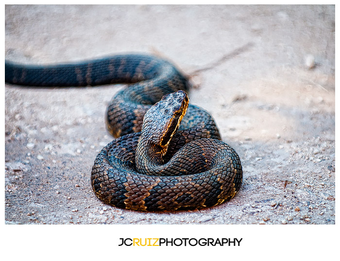Everglades Water Moccasin